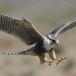 The ancient art of falconry