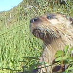 River Otters Return