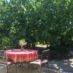 The Sonoma Garden: Six reasons why I love my fig tree