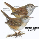 House wrens pay a visit