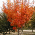 Top five trees for fall color
