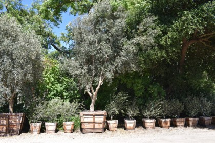 Karen Boness The Sonoma Garden Olive Trees Olea Europaea Are Icons Of Water Wise In Northern California They Immensely Por