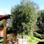 Options for fruitless olive trees