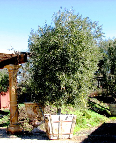 Options for fruitless olive trees | Sonoma Sun | Sonoma, CA