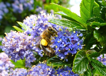 Signs of spring: a bumble bees hovers among the ceanothus flowers.