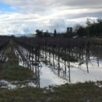How the flooding affected Sonoma County grapes